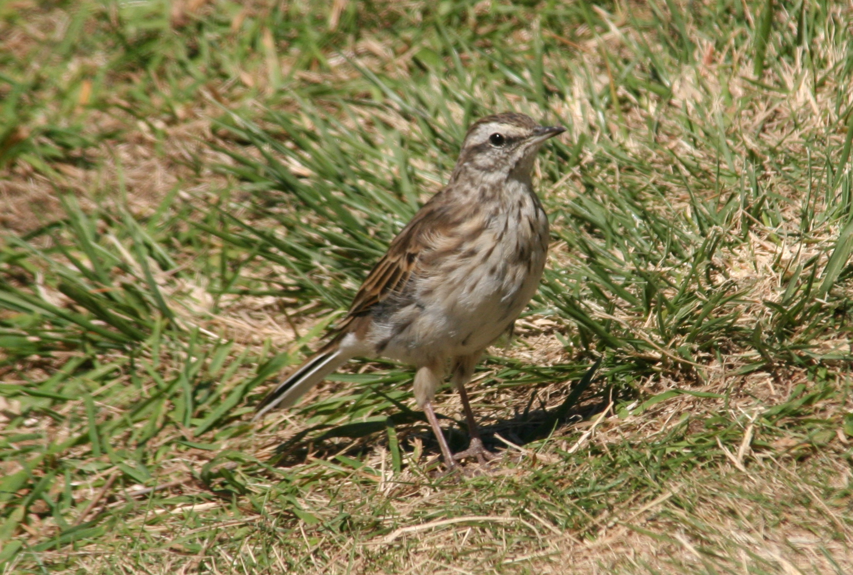 New_Zealand_Pipit
