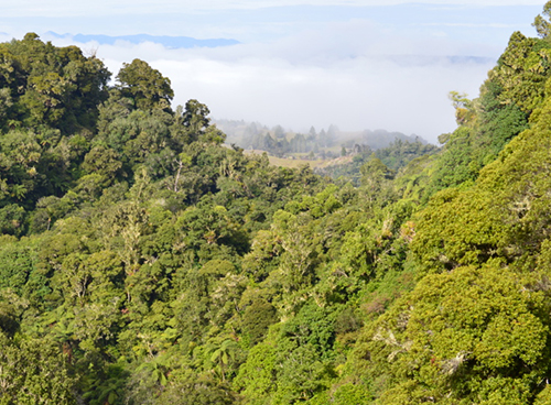Puketi Forest Trust, restoring and protecting the native wildlife, trees and plants of Puketi Forest in Northland, New Zealand.