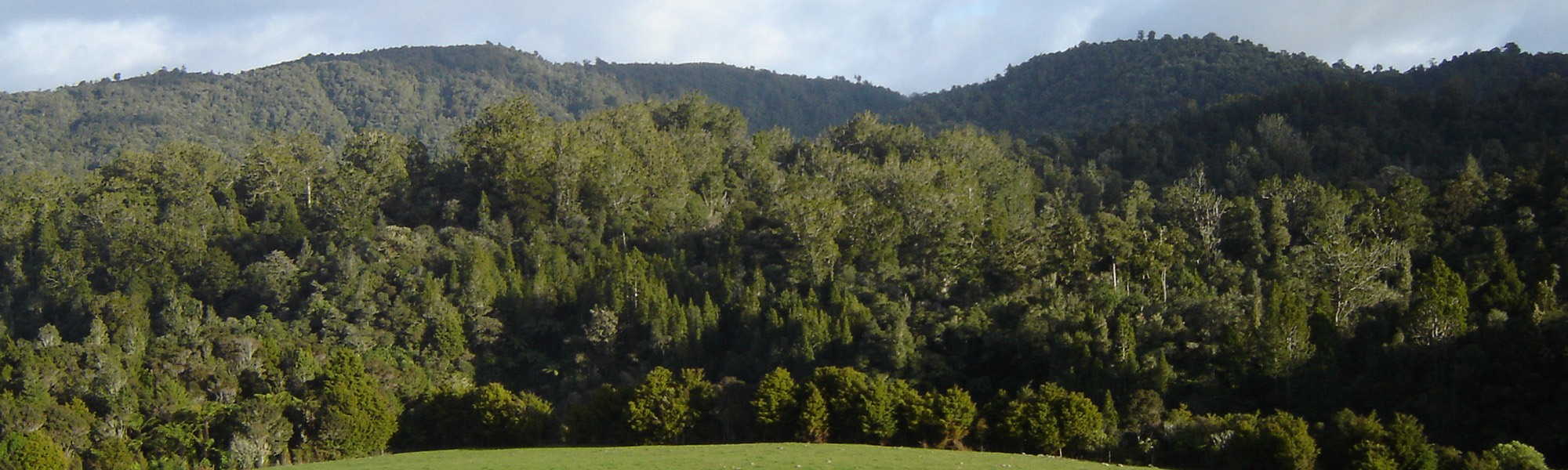 Puketi Forest, Northland New Zealand - kauri trees in foreground, Puketi Plateau on skyline
