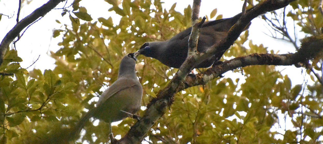 Kokako pair on Puketi plateau, 2018