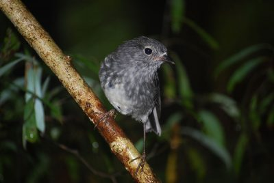 Unbanded toutouwai - bred in Puketi Forest