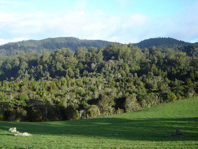 Waihoanga kauri, Puketi Forest