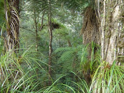 Understorey beneath kauri, Puketi Forest