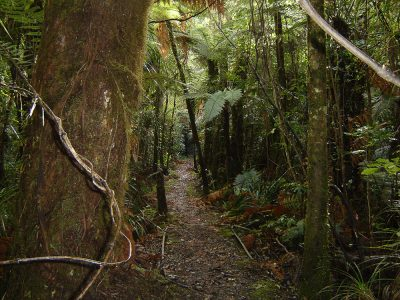 Puketi Forest track