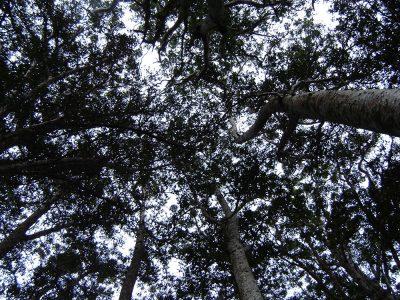 Kauri canopy, Puketi Forest