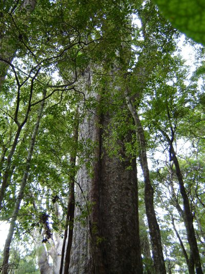 Takapau kauri, Puketi Forest