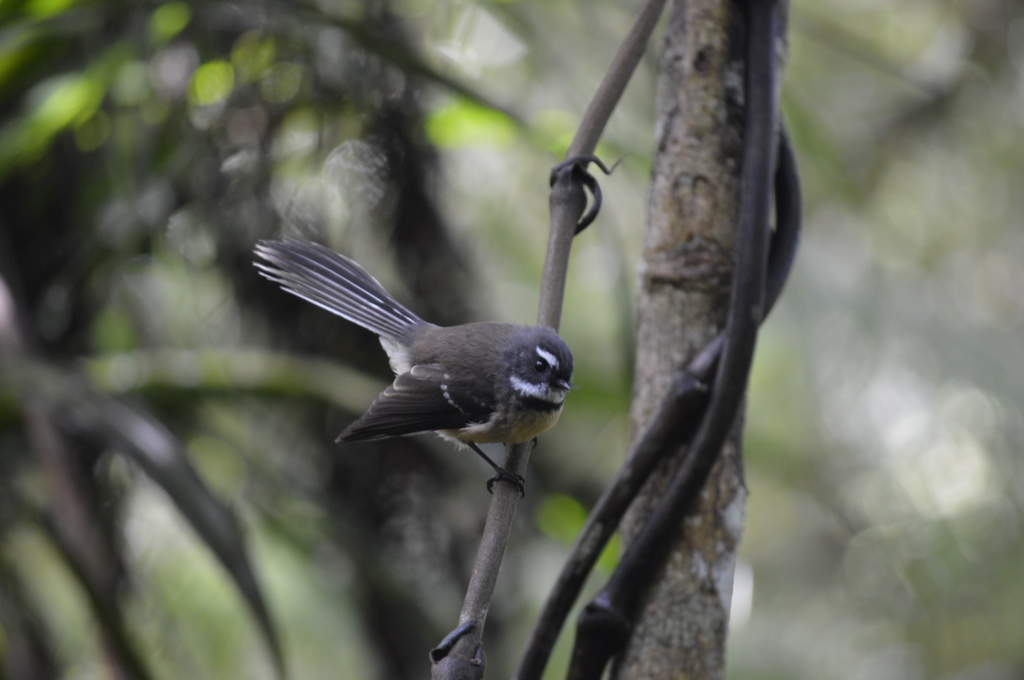 Fantail in Puketi Forest