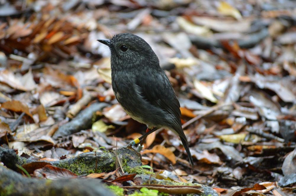 Toutouwai o te Nehenehenui in Puketi Forest